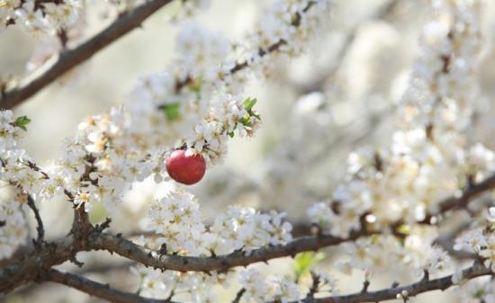 Đừng lỡ hẹn với mận trắng Mộc Châu thơm ngon, bổ dưỡng