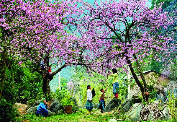 Ngược miền rẻo cao Tây Bắc về lễ hội hoa ban Điện Biên
