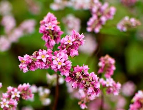 Rủ nhau đi ngắm hoa tam giác mạch Hà Giang tháng 11/2017