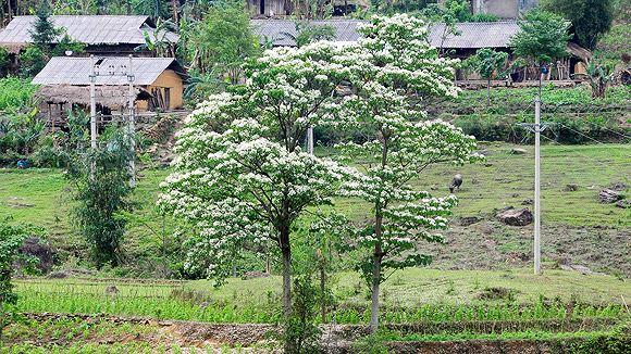 Tới Bình Liêu chiêm ngưỡng hoa sở nở trắng trời