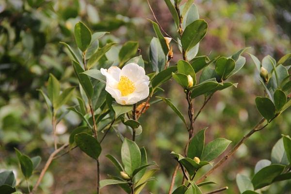 Đến Bình Liêu thưởng thức hoa sở trắng trời biên cương