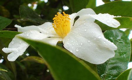Hoa sở nở trắng trời Bình Liêu tháng 12 bạn biết chưa?