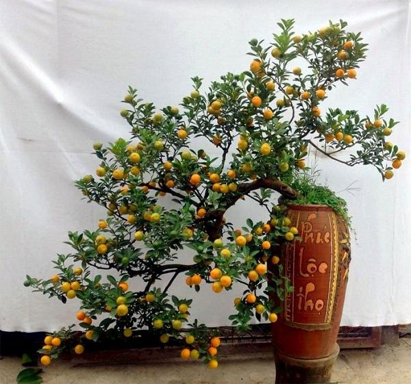 Bí kíp chọn mua cây quất đẹp, nhiều tài lộc cho Tết 2018