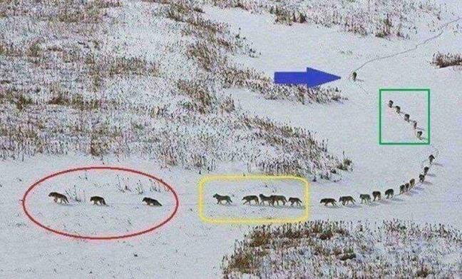 Những chiến thuật cần học từ sói đầu đàn